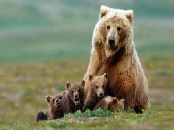 mo thấy gấu