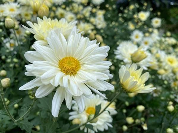 Mơ thấy hoa cúc là dự cảm tốt hay xấu? Đánh con gì?